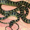 Surprise visitor: Flying snake found in Hyderabad