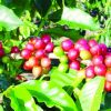 Try tea from Araku valley coffee leaves