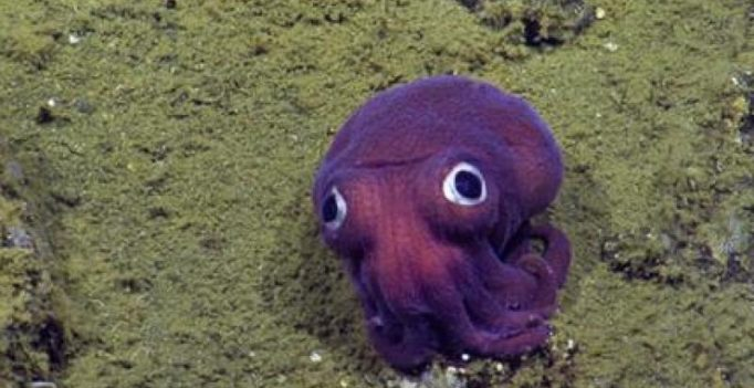 Video: This big-eyed squid looks more like a toy rather than an animal