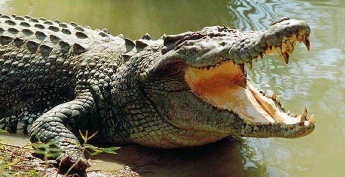 Madhya Pradesh: Man watches helplessly as crocs attack his kin
