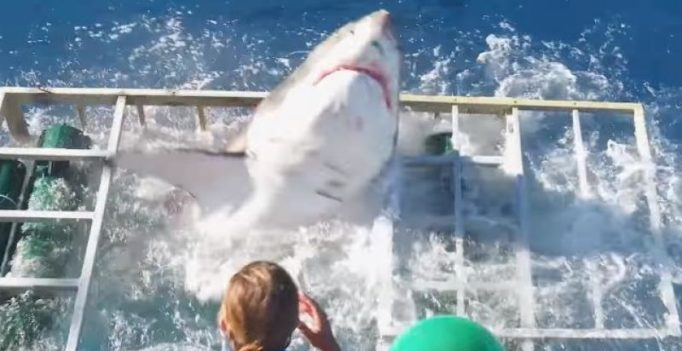 Video: Diver miraculously survives after great white shark breaks into cage