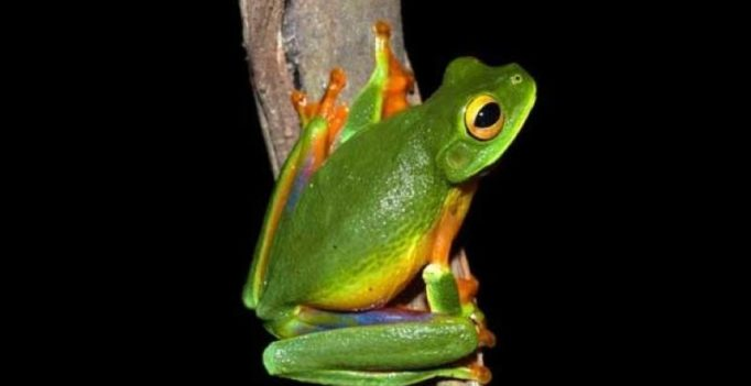 New colourful tree frog species discovered in Australia