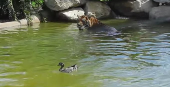 Video: Duck fooling Tiger in water at Sydney Zoo goes viral