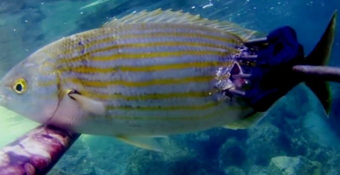 Here's a fish that can get you trippy and give hallucinations for days