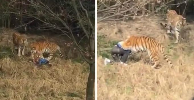 Tiger mauls man to death in front of his terrified wife, kid at Chinese wildlife park