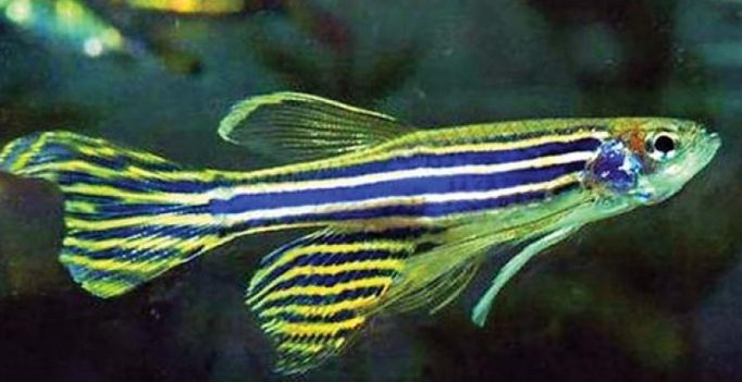 Visakhapatnam: Zebrafish replaces rodents in laboratories