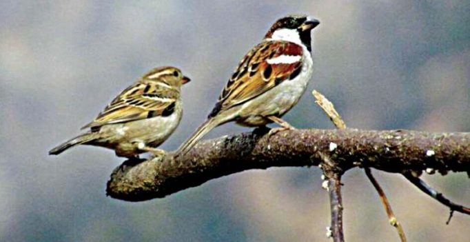 Bengaluru: Reasons many, but sparrows have stopped chirping