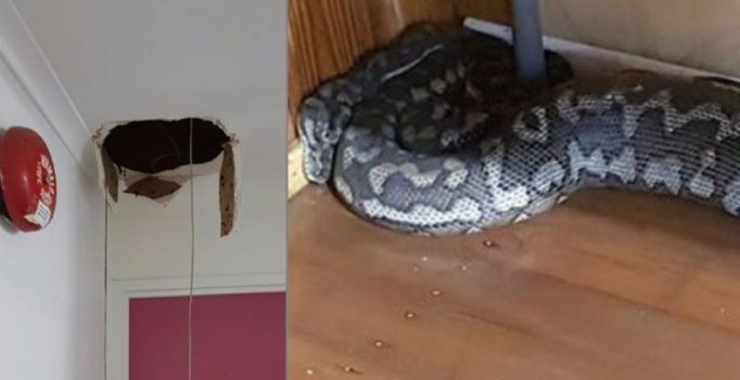Massive snake falls through big hole in roof in Australia
