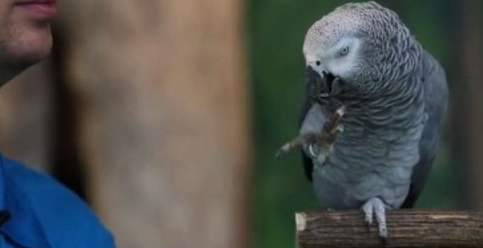 This parrot can imitate sounds made by dogs and owls