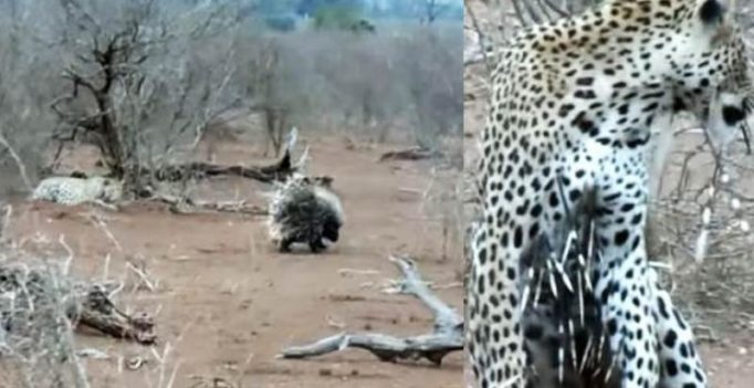 Leopard makes awful mistake of trying to eat two porcupines