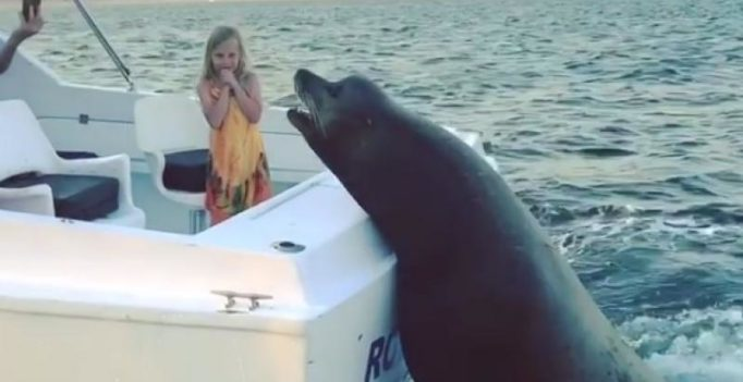 Video: Gigantic sea lion jumps on moving boat after spotting this