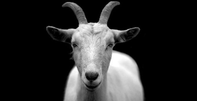 Irish town crowns a goat its king