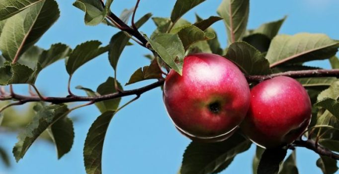 Washing apples with baking soda could help get rid of pesticide residues: Study