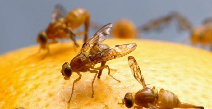 Scientists discover flies enjoy sex and resort to alcohol if they don't get it