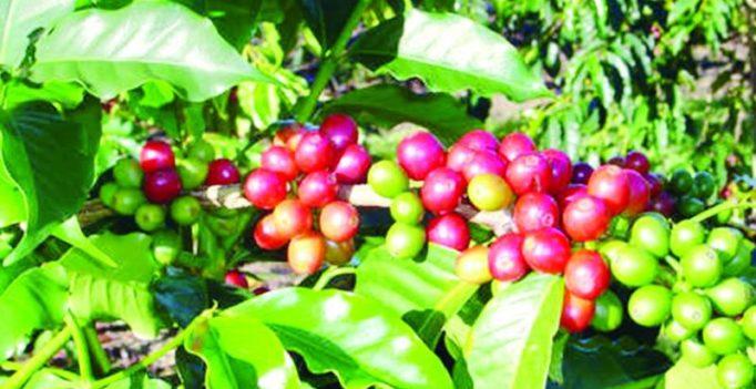 Try tea from Araku valley coffee leaves