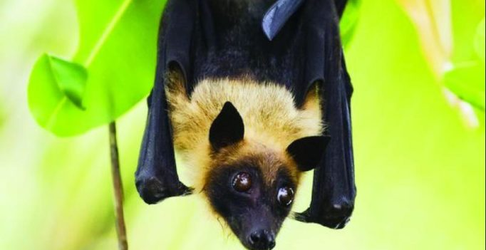 Nipah virus is fatal, it is carried to humans by fruit bats