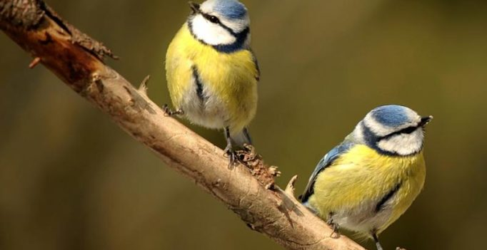Church shuts its doors after pair of blue tits discovered nesting in vicar's lectern