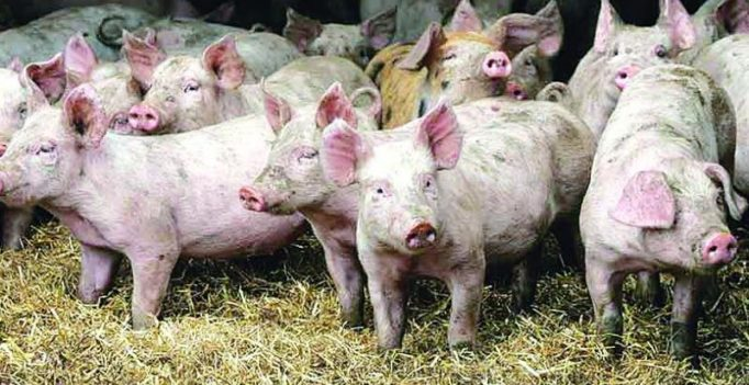 African Swine Fever outbreak reported in South Africa; does not spread to humans