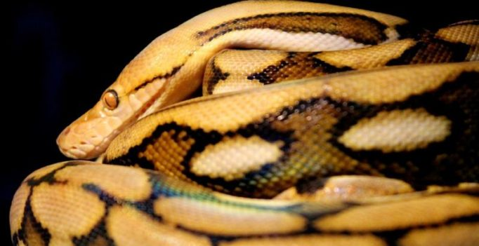 Woman tries to smuggle python inside hard drive in luggage onto flight
