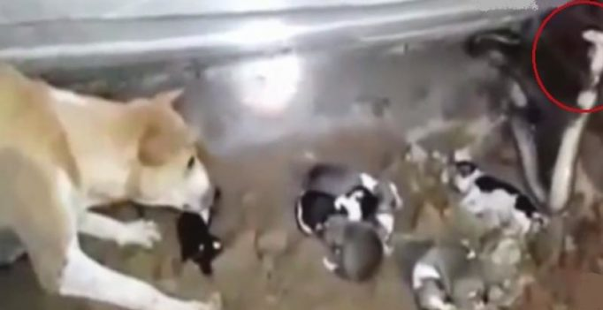 Video: Fierce dog takes on cobra to save her puppies in Odisha