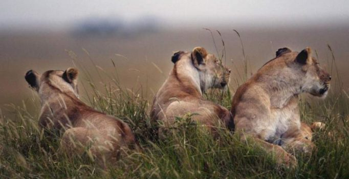 Gang of lionesses turns against male lion as visitors at safari park are shocked