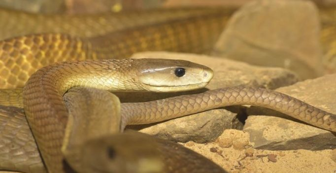 Anti-venom against deadly black mamba snakebite developed