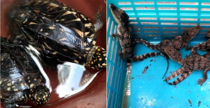 8 baby crocodiles and 2 black pond turtles rescued from Nashik smuggler