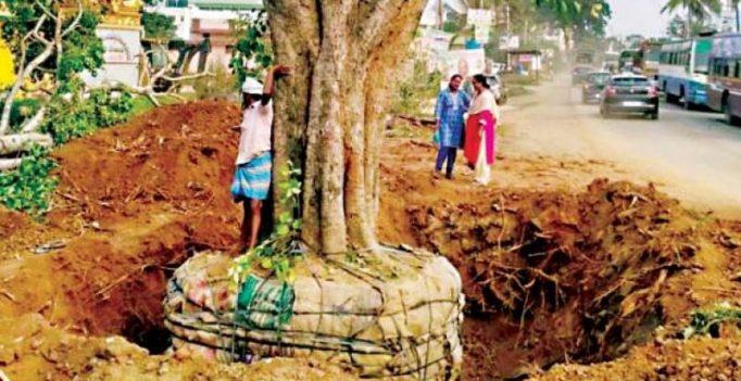 Translocated trees die, BMRCL, BBMP blamed