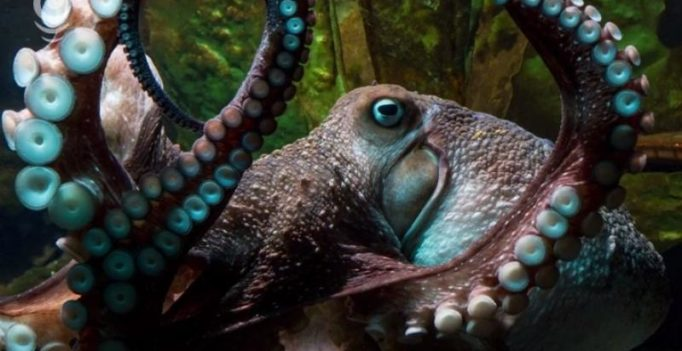 Octavius, lone 'male' octopus in aquarium gives birth to thousands of babies