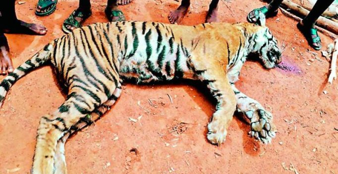 Wildlife activists to move court on tigress shooting