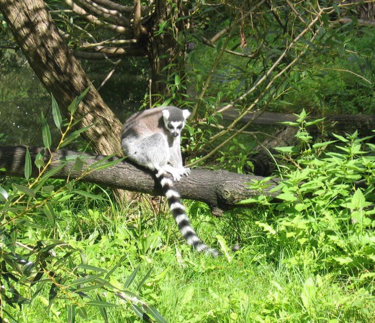 ring-tailed-lemur-1364114-768x661